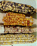 [maize kernels showing variegation]